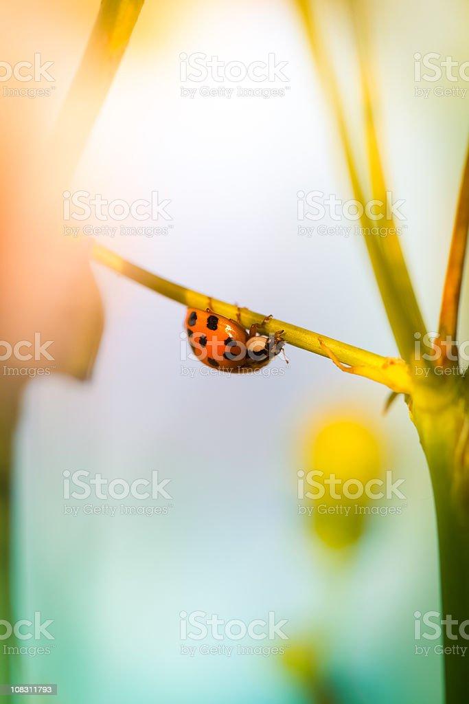 Ladybug sitting on wildflower during sunrise royalty-free stock photo