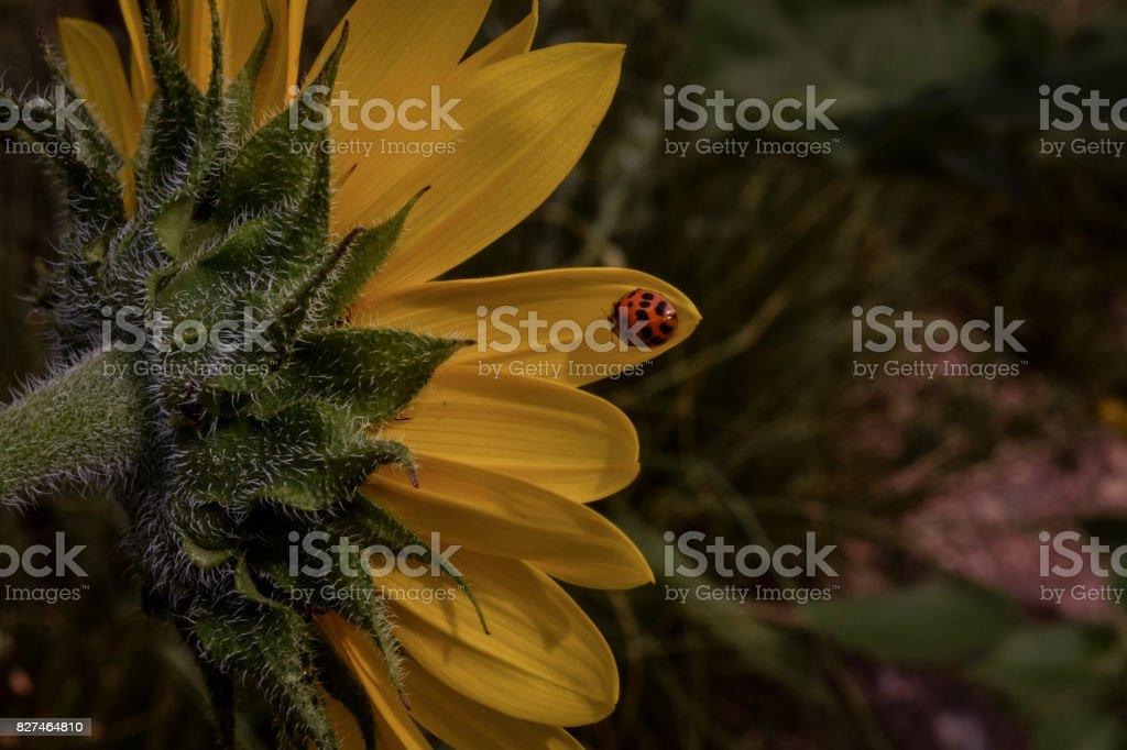 Ladybug Sunflower stock photo