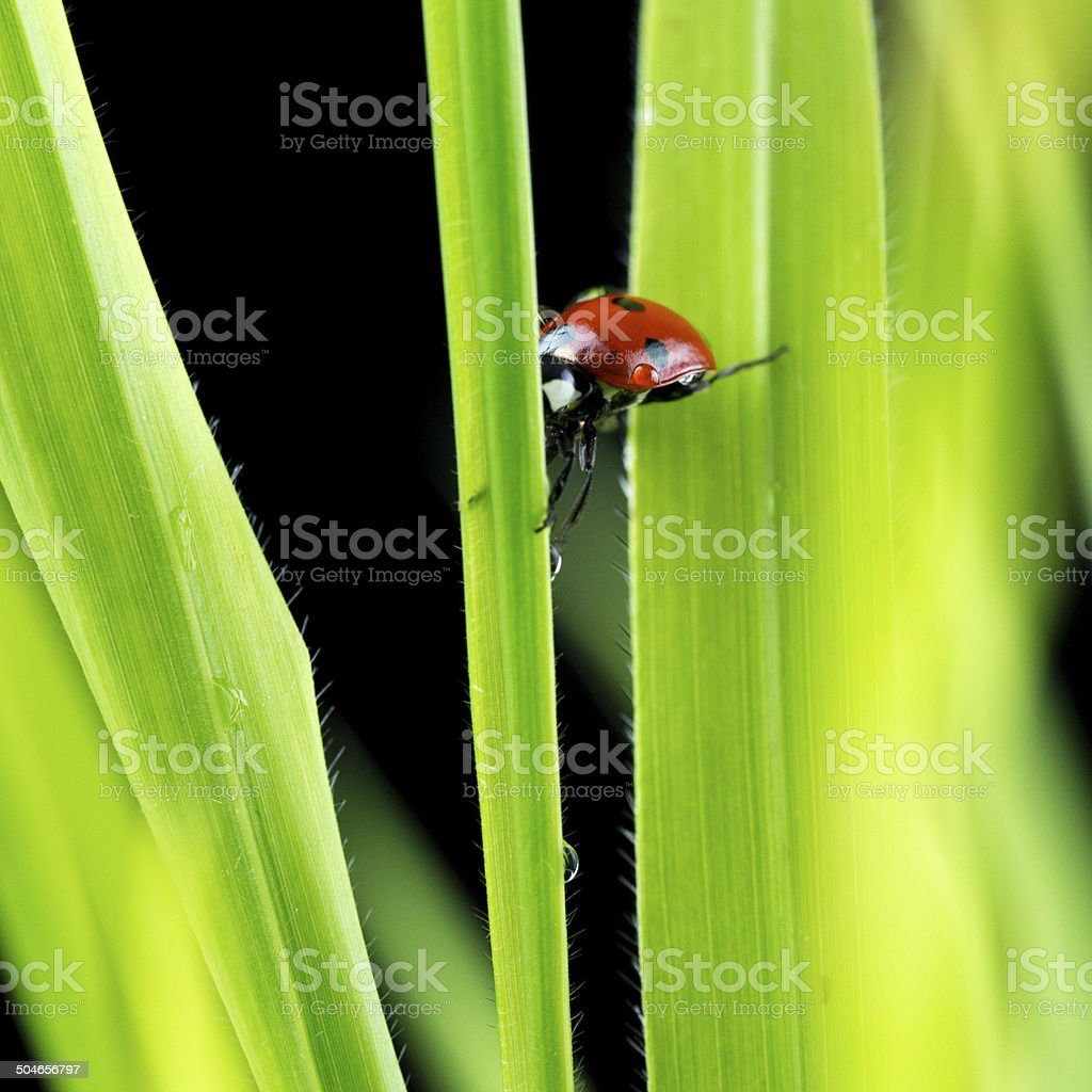 Ladybug suspended between two green leaves stock photo