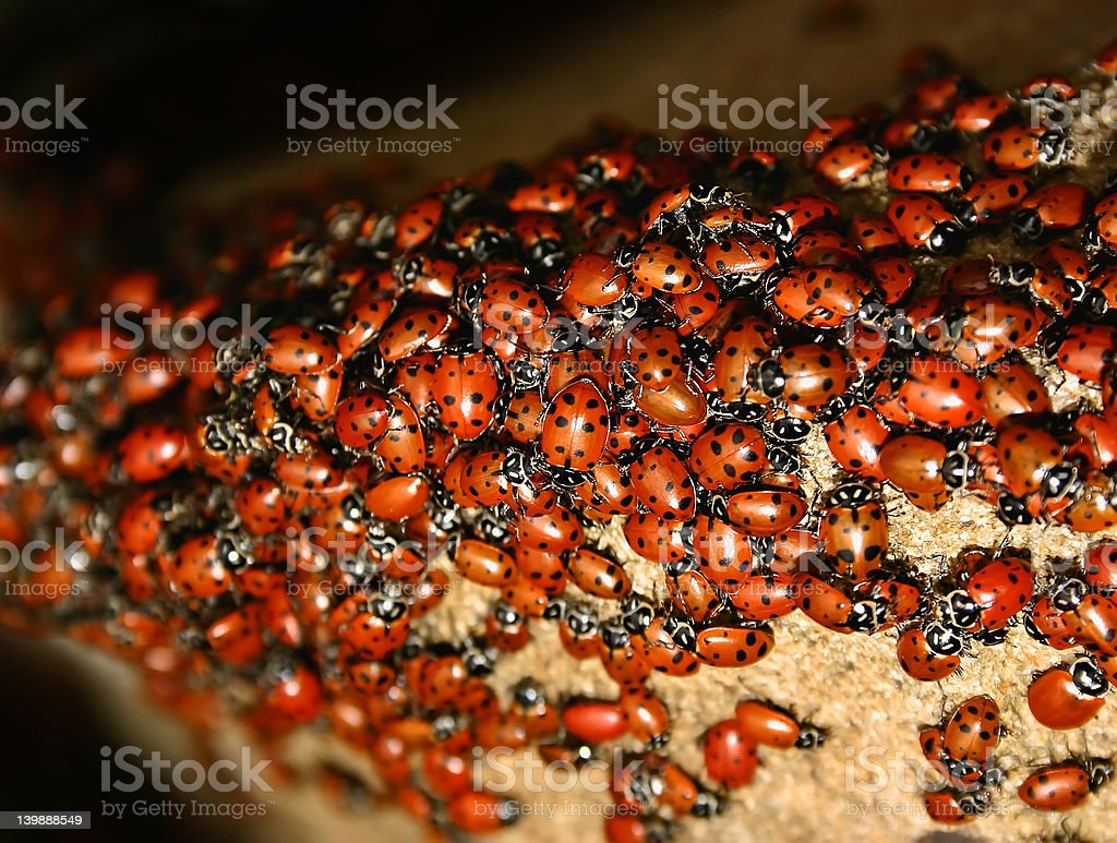 Ladybug (Harmonia axyridis) Swarm stock photo