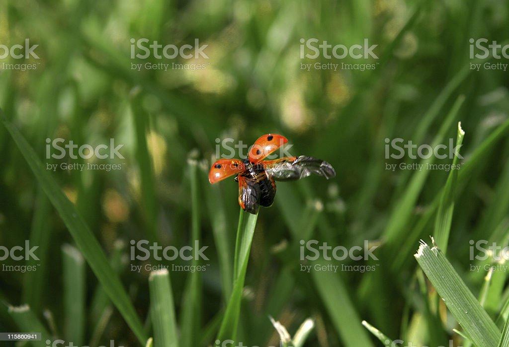 Ladybug Taking Flight royalty-free stock photo