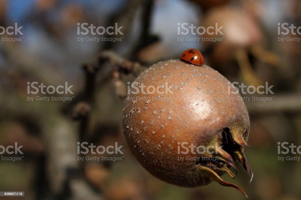 Ladybug walking on meddler stock photo