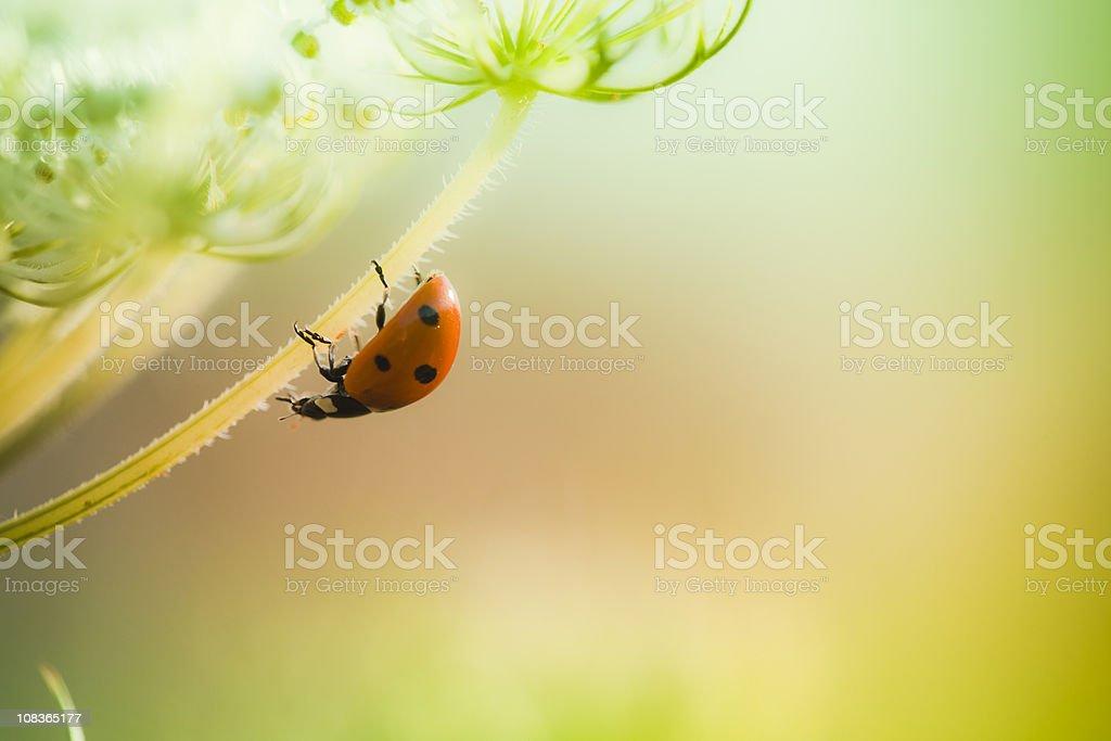 Ladybug walking on wildflower during sunset royalty-free stock photo