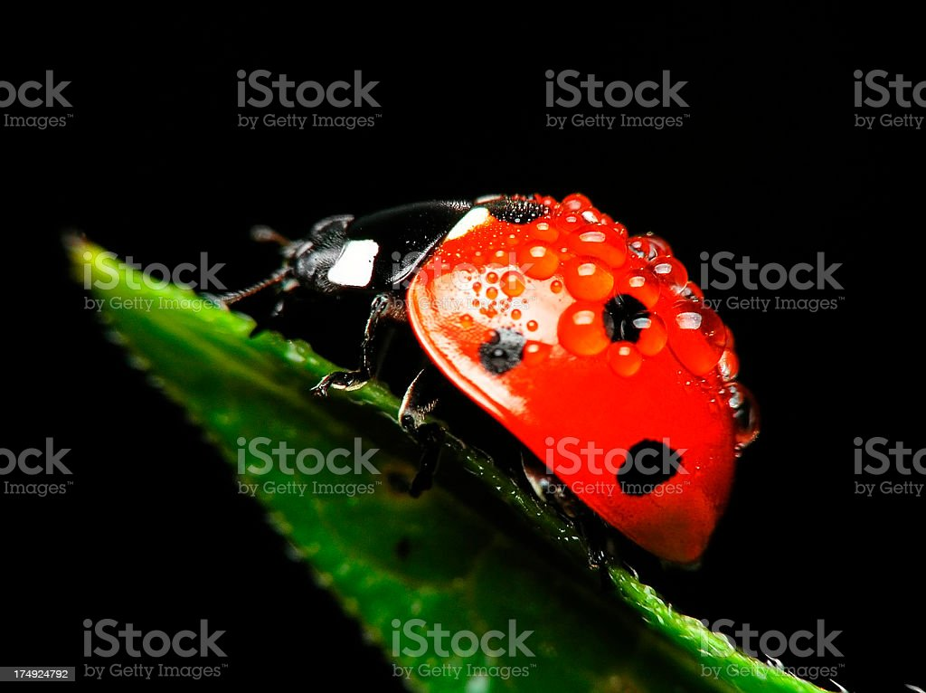 Ladybug with Drops on Green Leaf- Close up royalty-free stock photo