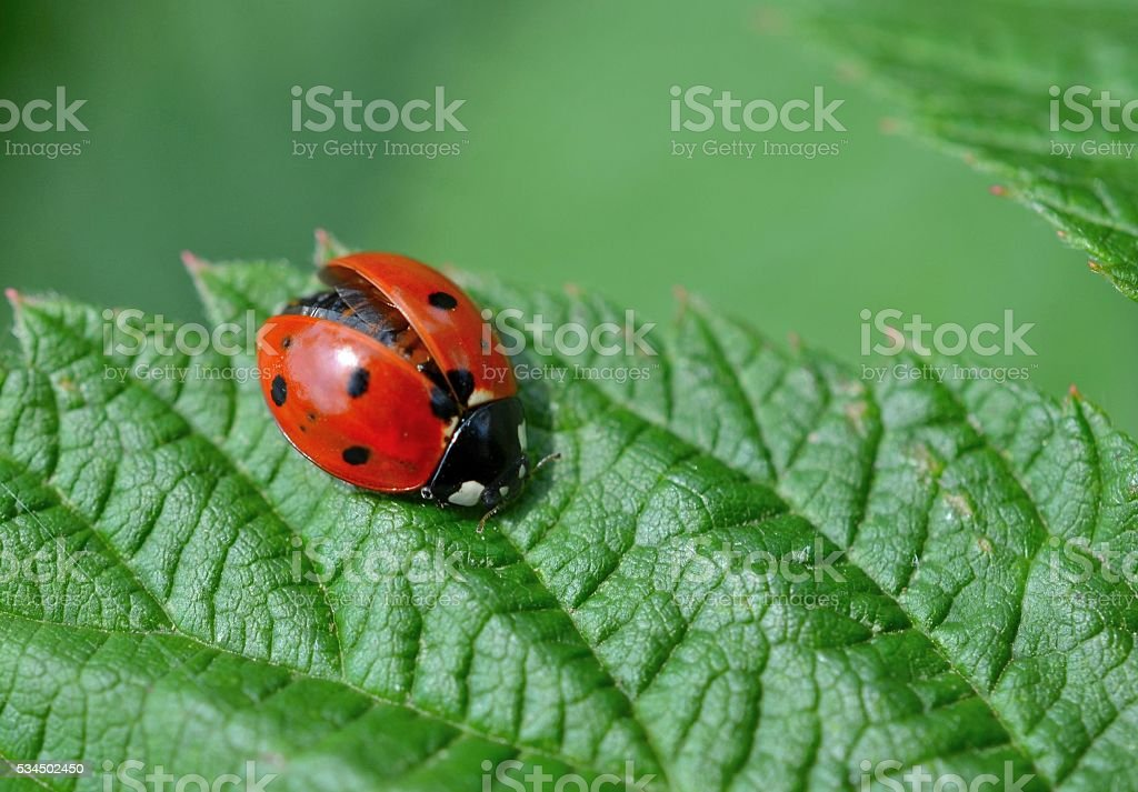 Ladybug with wings partially open stock photo