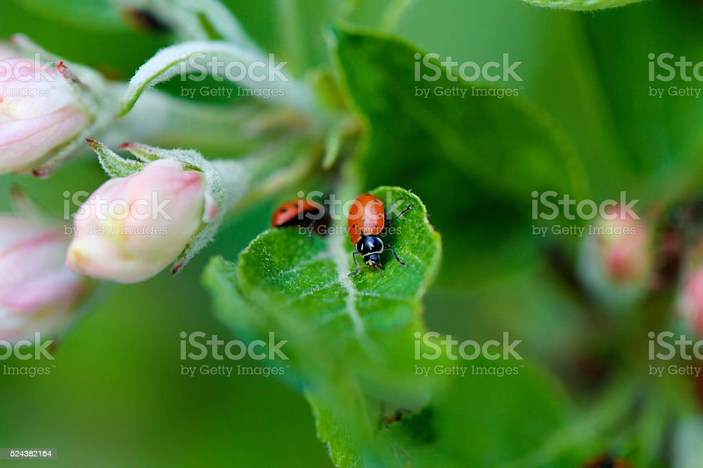 ladybugs and apple blossoms stock photo