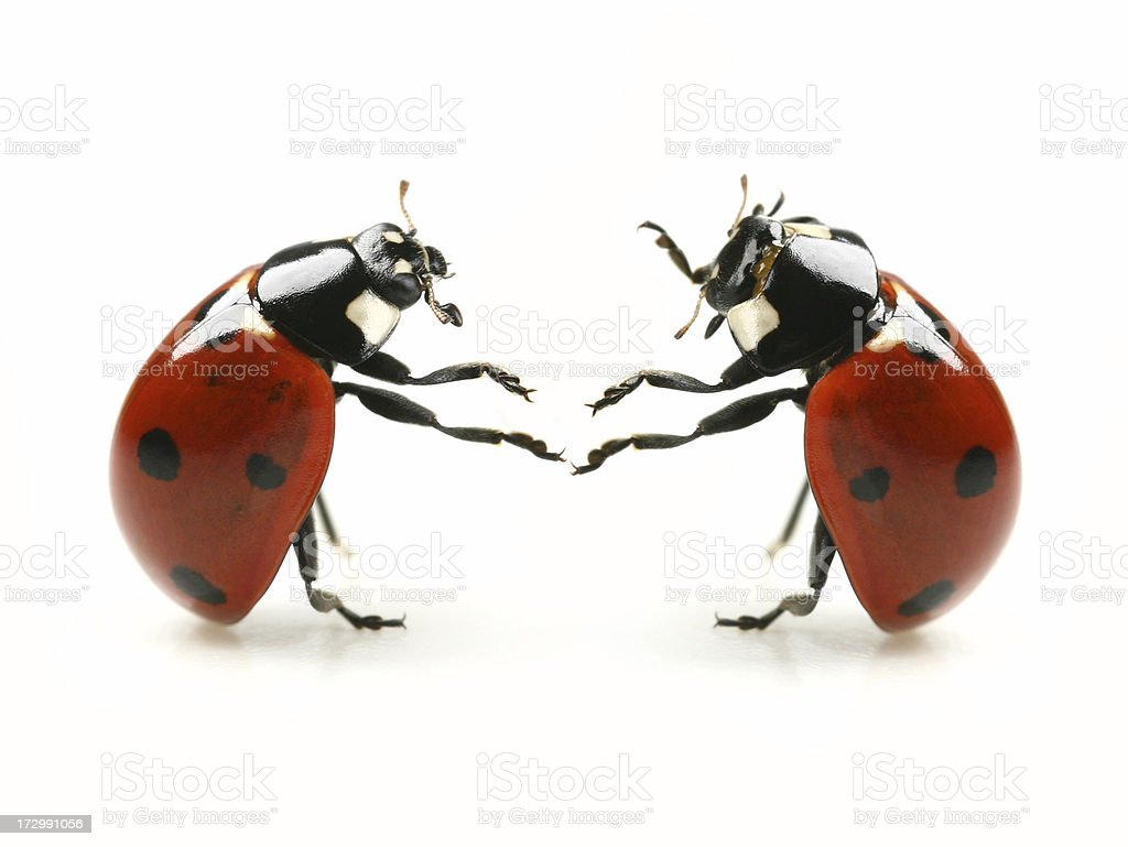Ladybug's Dance Party royalty-free stock photo