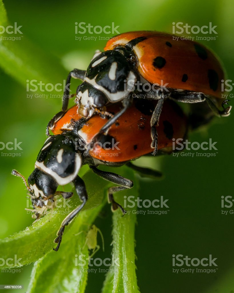Ladybugs Fornicate while one eats an Aphid stock photo