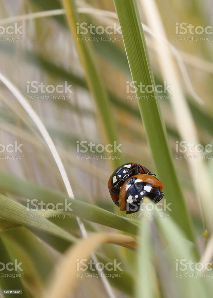 Ladybugs in Perspective stock photo