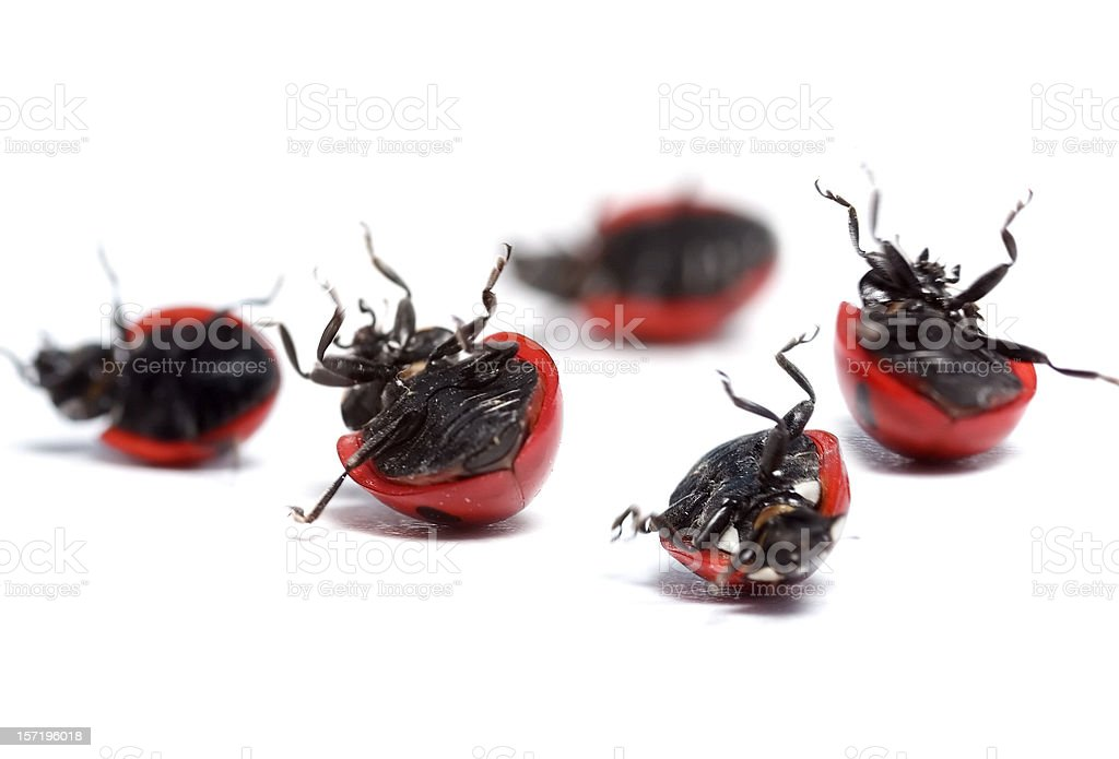 ladybugs need help! royalty-free stock photo