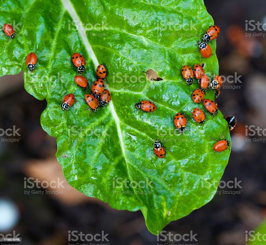 ladybugs on a chard leaf stock photo