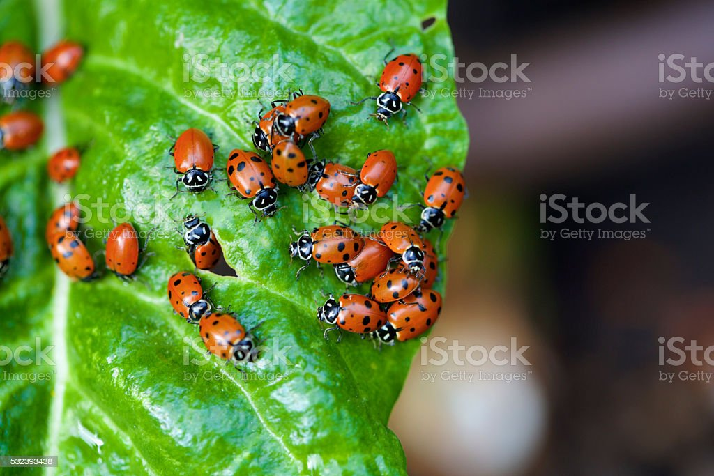 ladybugs on a chard leaf stock photo