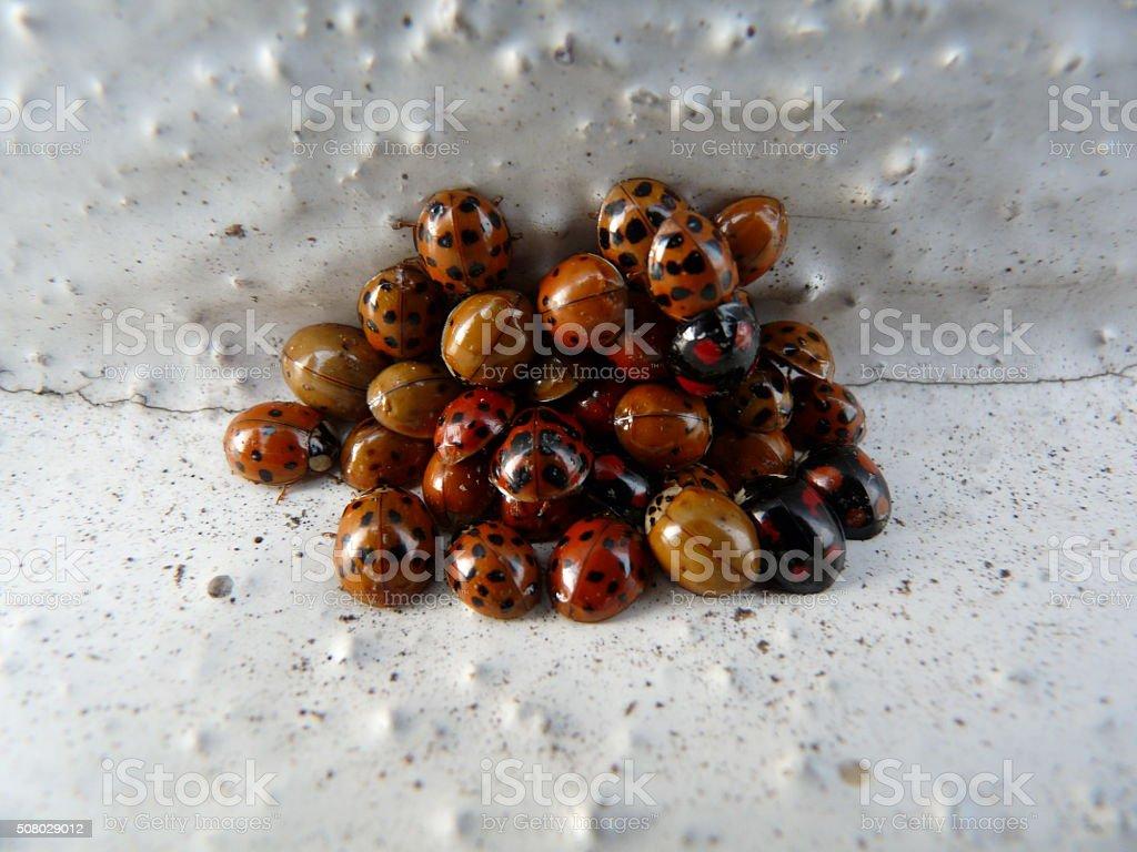 ladybugs on a pile of hibernating stock photo