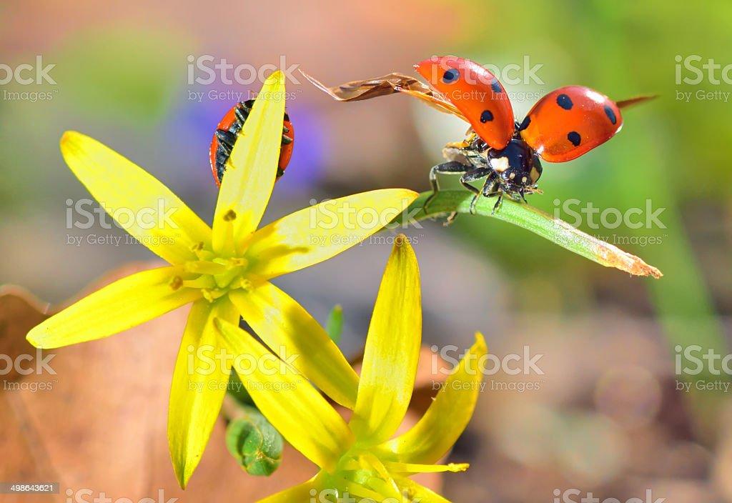 Ladybugs on spring  flowers stock photo