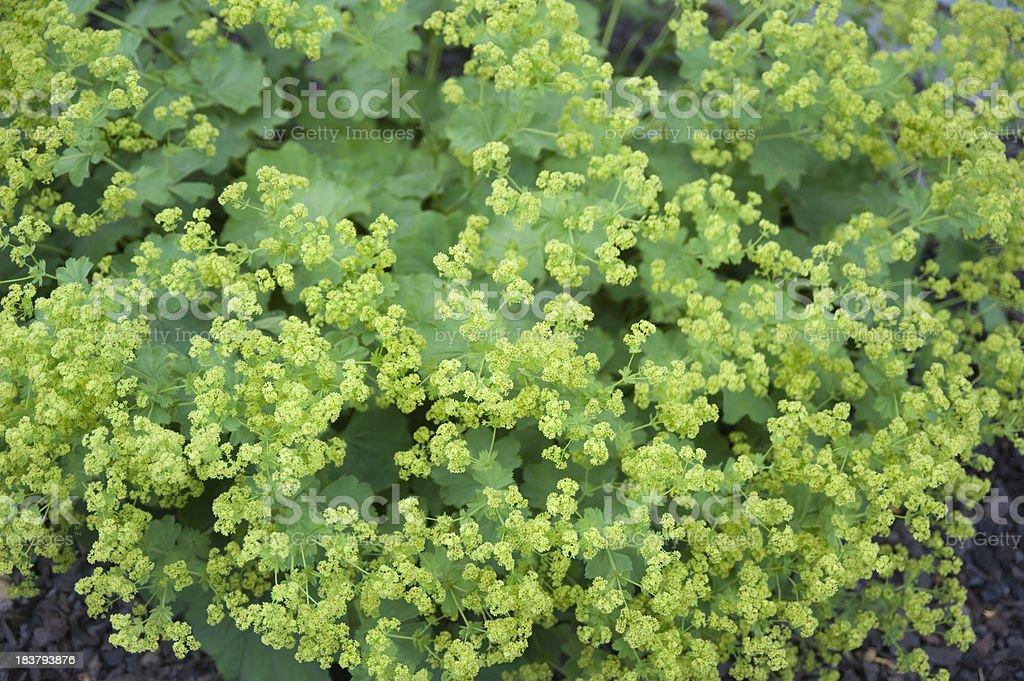 Lady's Mantle Flower, Alchemilla Mollis stock photo