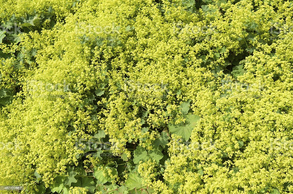 Lady's mantle in bloom. stock photo