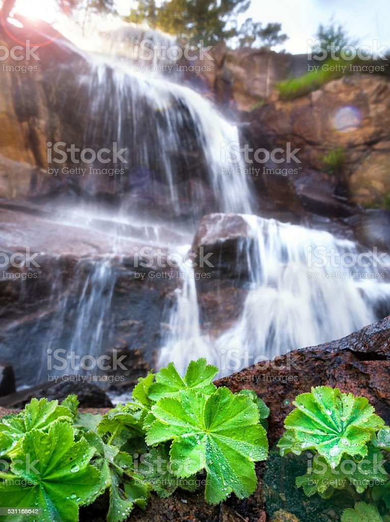 Lady´s Mantle in front of a waterfall stock photo