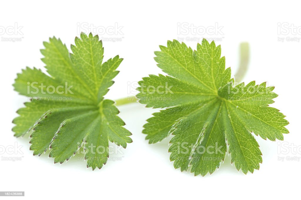 Lady's mantle leaves stock photo