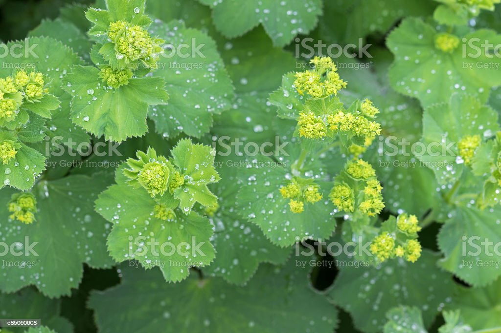 Lady's mantle leaves, yellow flower buds with drops of water stock photo