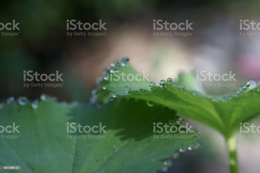 Lady's mantle with dew drops stock photo