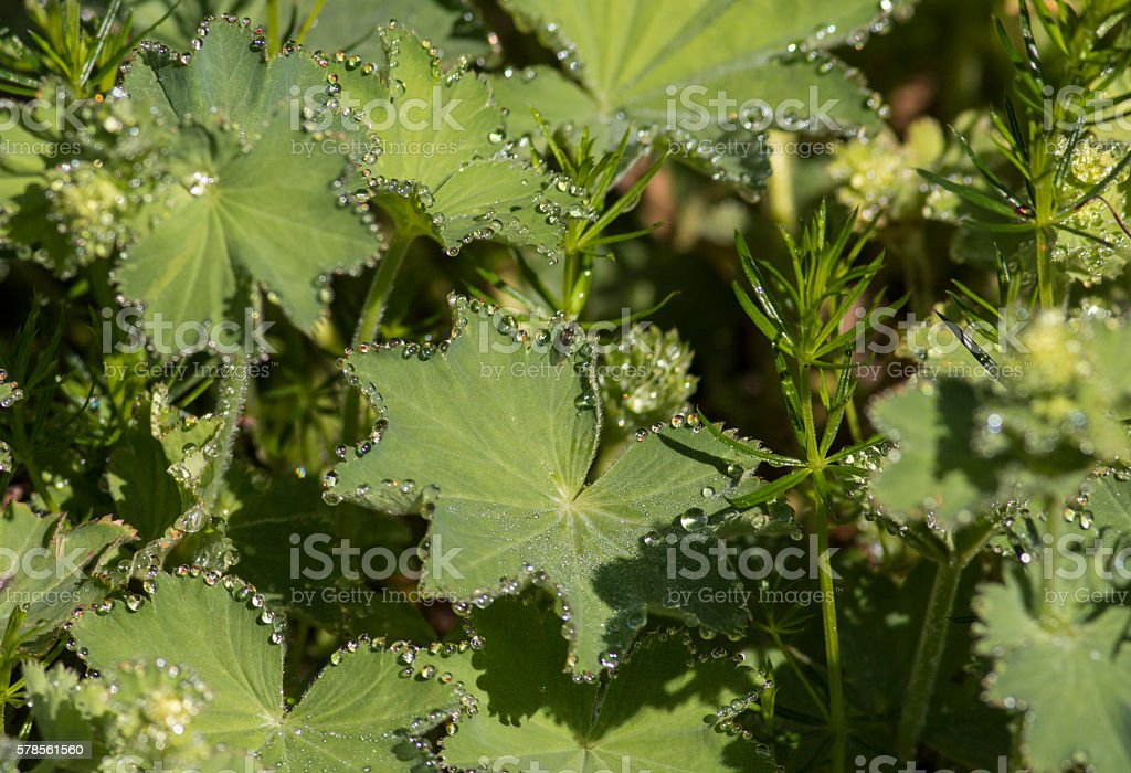 Lady's mantle (Alchemilla vulgaris) with drops of water stock photo