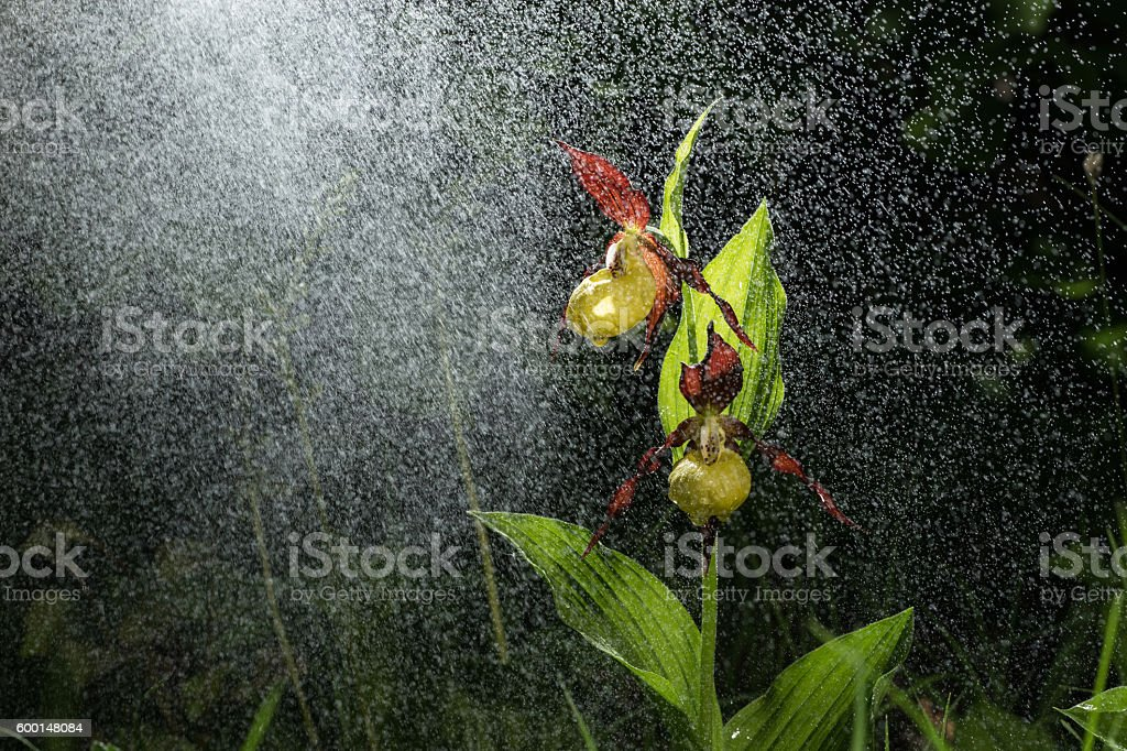 Ladys Slipper Orchid bloom in the pouring rain like snowing. stock photo