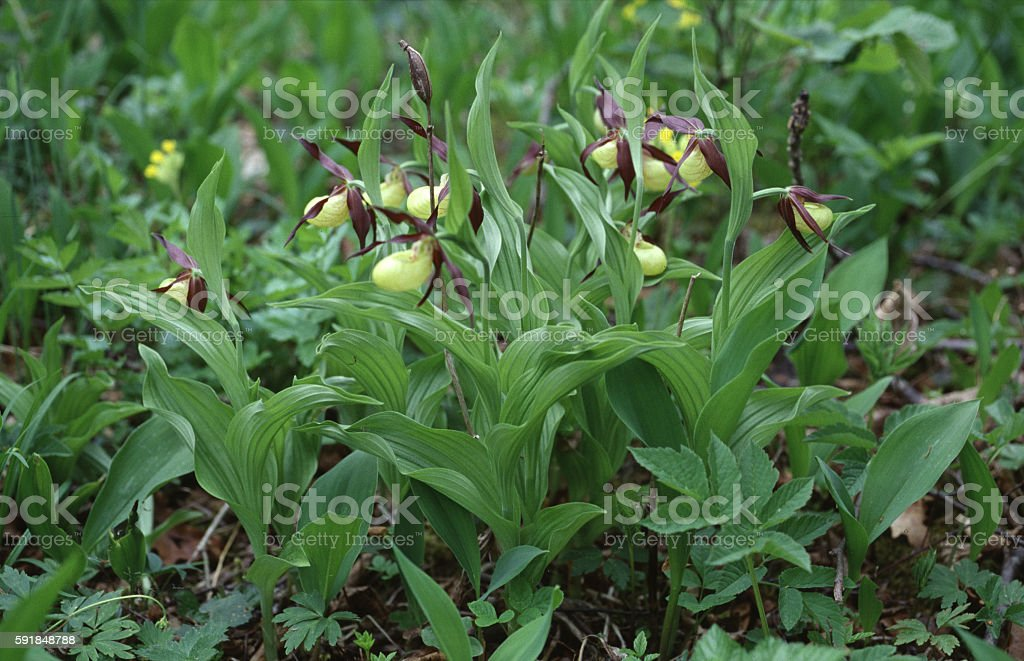 Lady's slipper orchids stock photo