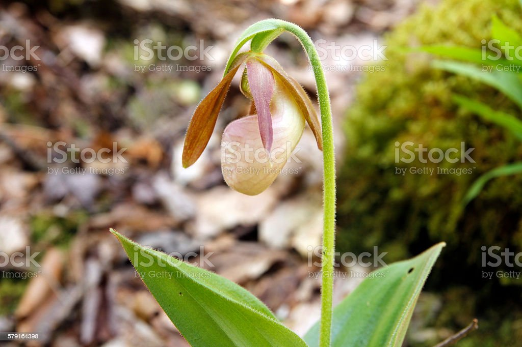 Lady's Slipper stock photo