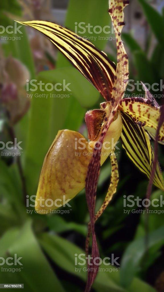 Ladyslipper Orchid stock photo