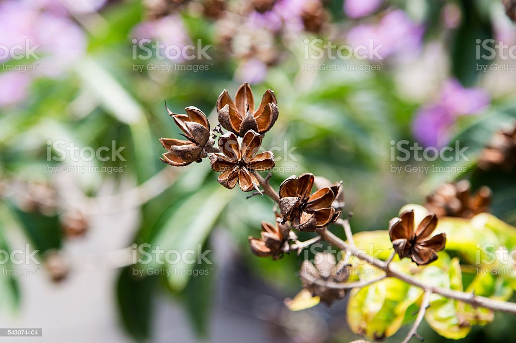Lagerstroemia floribunda seed stock photo