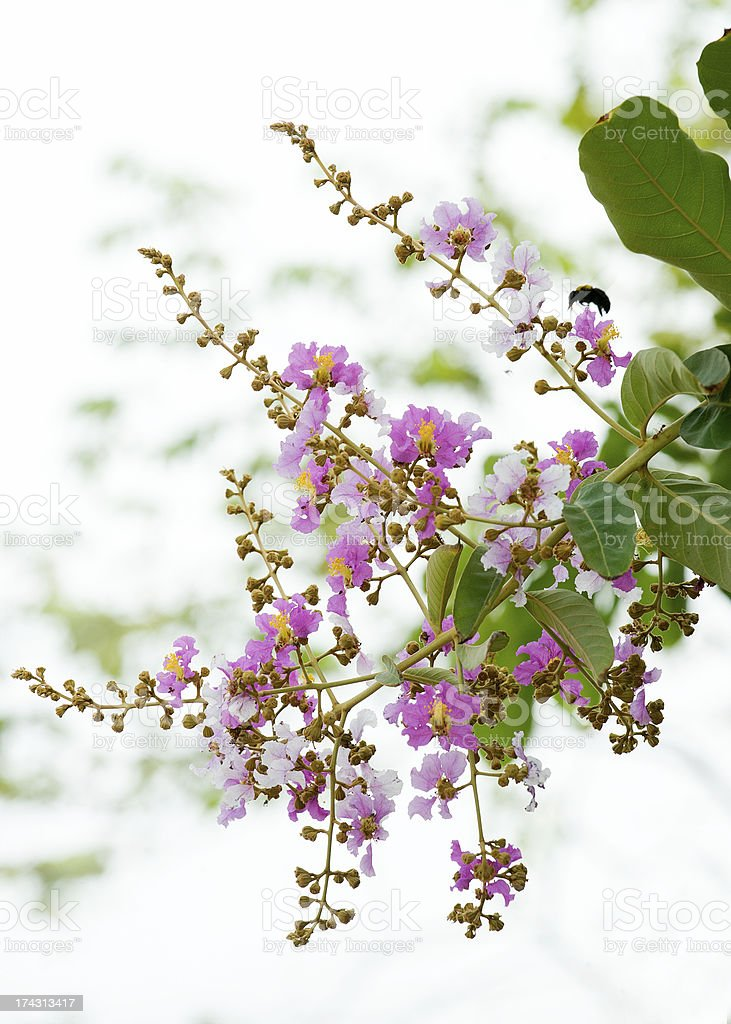 lagerstroemia flowers royalty-free stock photo