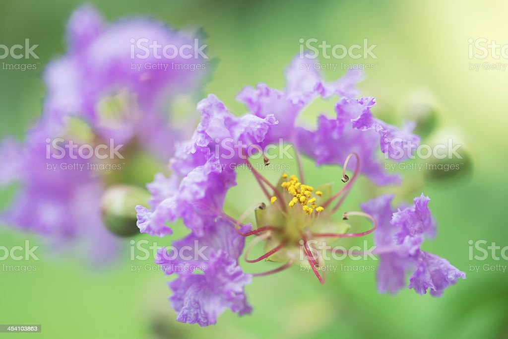 Lagerstroemia indica stock photo
