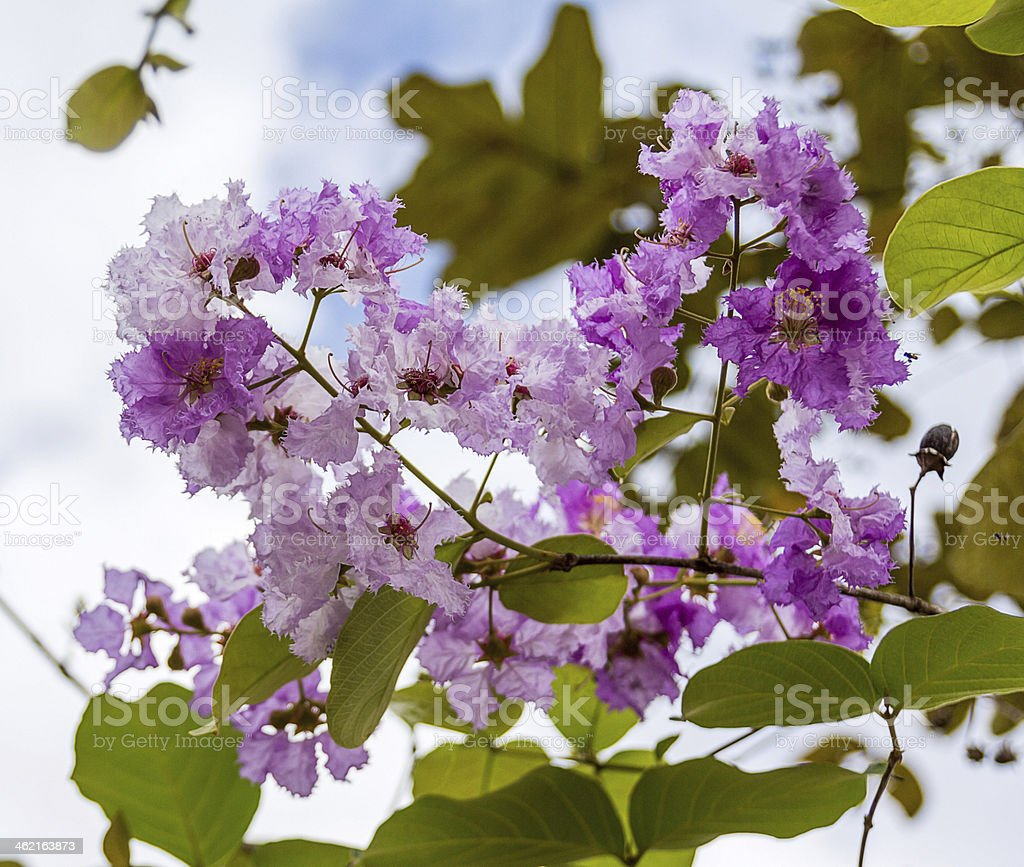 Lagerstroemia macrocarpa Wall  flower stock photo