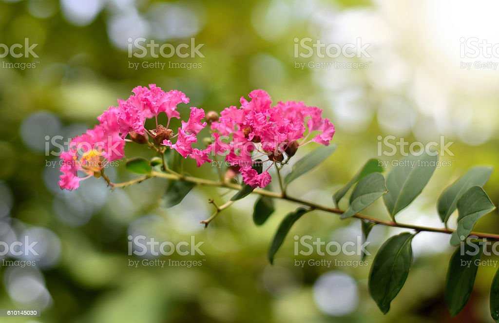 lagerstroemia. Plant flower  nature close up stock photo