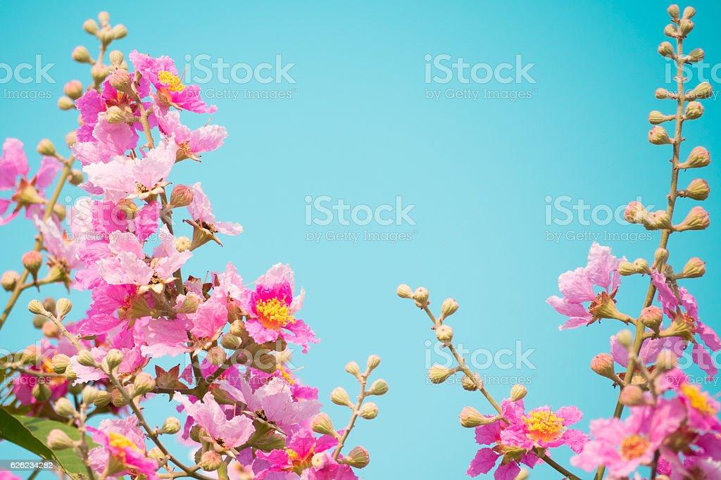 Lagerstroemia speciosa, flower. stock photo