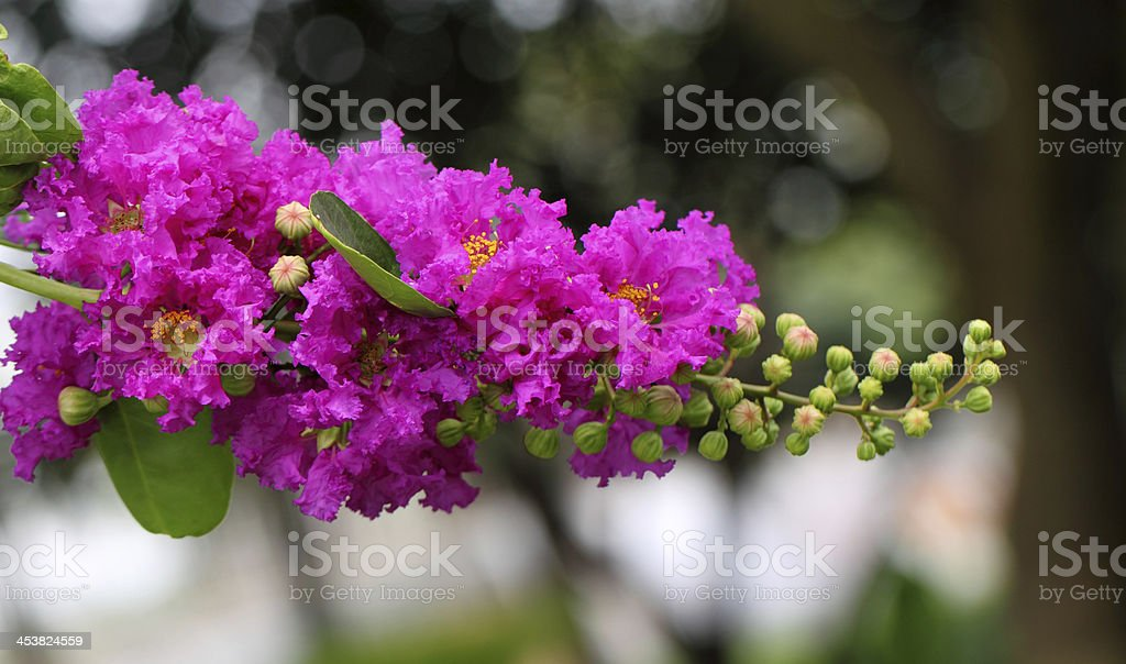 Lagerstroemia speciosa stock photo