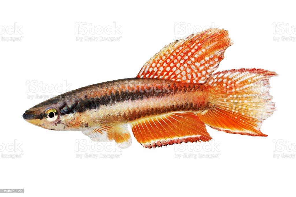 Lagos Red Killifish aquarium fish Killi Aphyosemion bitaeniatum stock photo