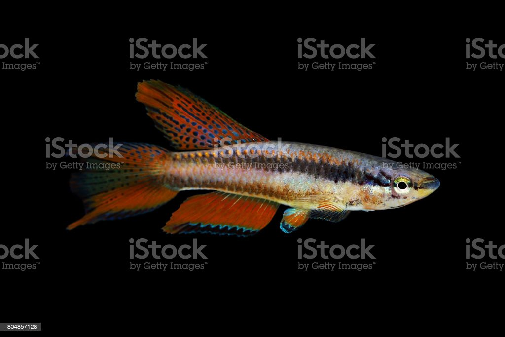 Lagos Red Killifish Male aquarium fish Killi Aphyosemion bitaeniatum stock photo