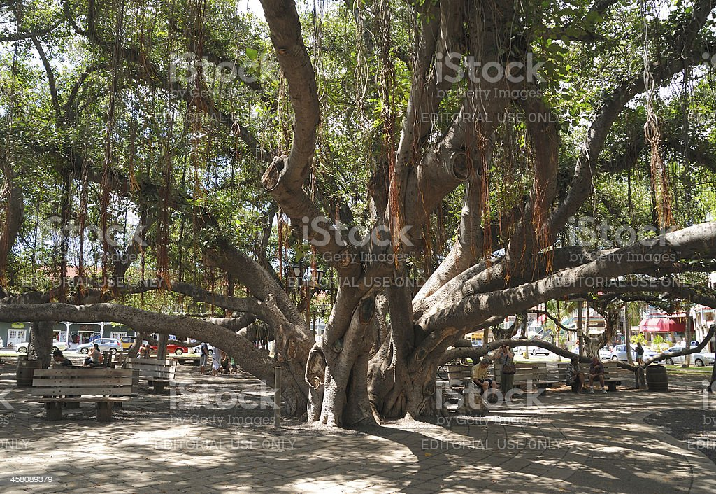 Lahaina Banyan Tree-Horizontal stock photo