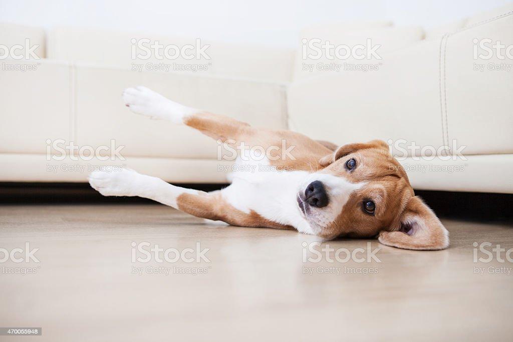 Laisy beagle lying on the flour stock photo