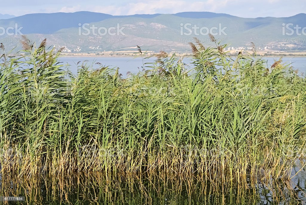 Lake and green reed stock photo