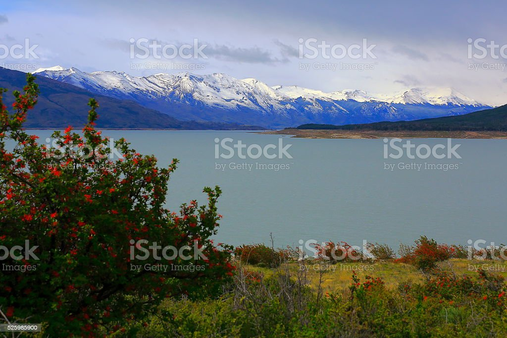 Lake Argentina, Snowcapped mountains, red flowers, Patagonia, Calafate stock photo