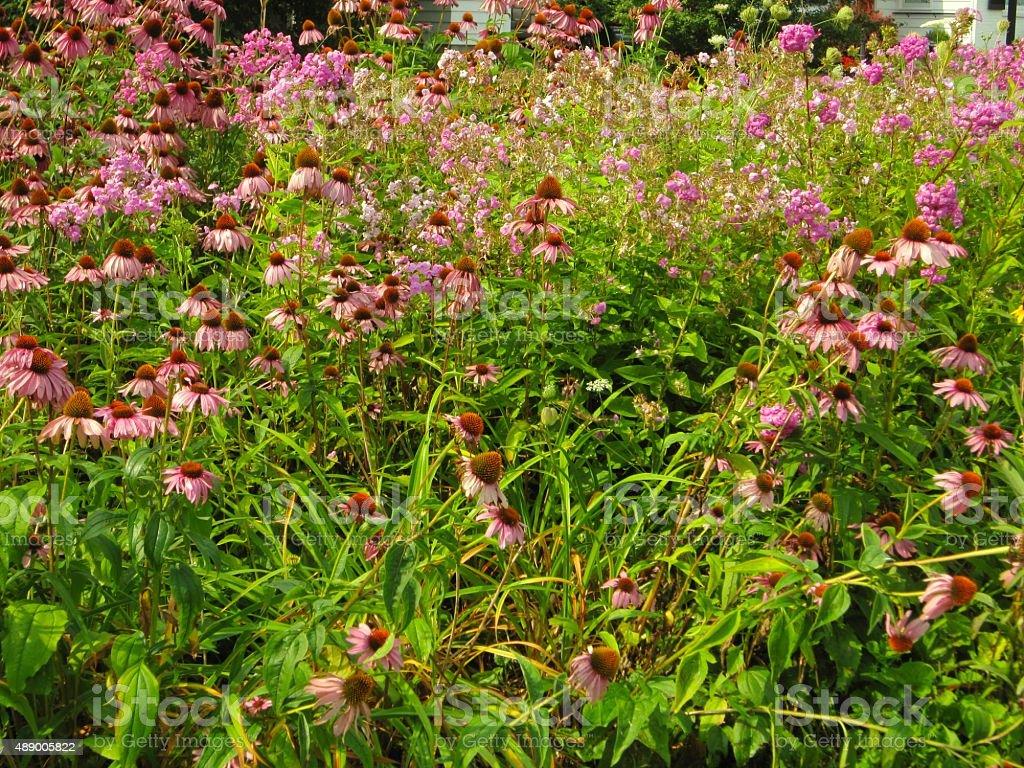 Lake Champlain, Plattsburgh, New York, Cone flower bed, in summer stock photo