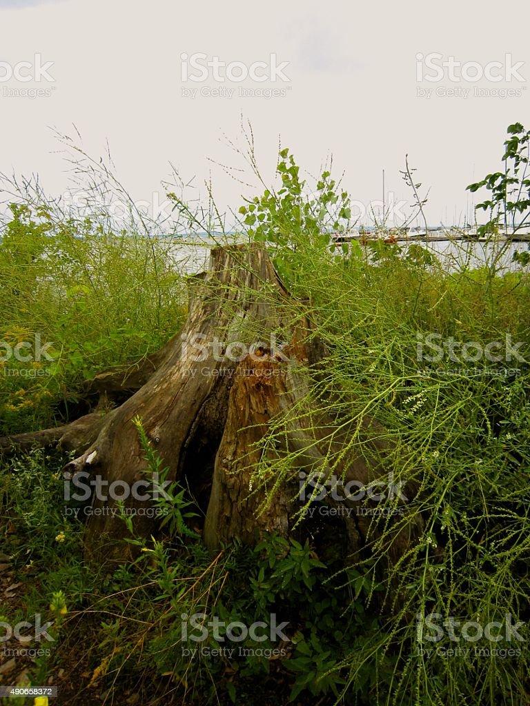 Lake Champlain, Plattsburgh, New York. Tree stump with beach grasses. stock photo