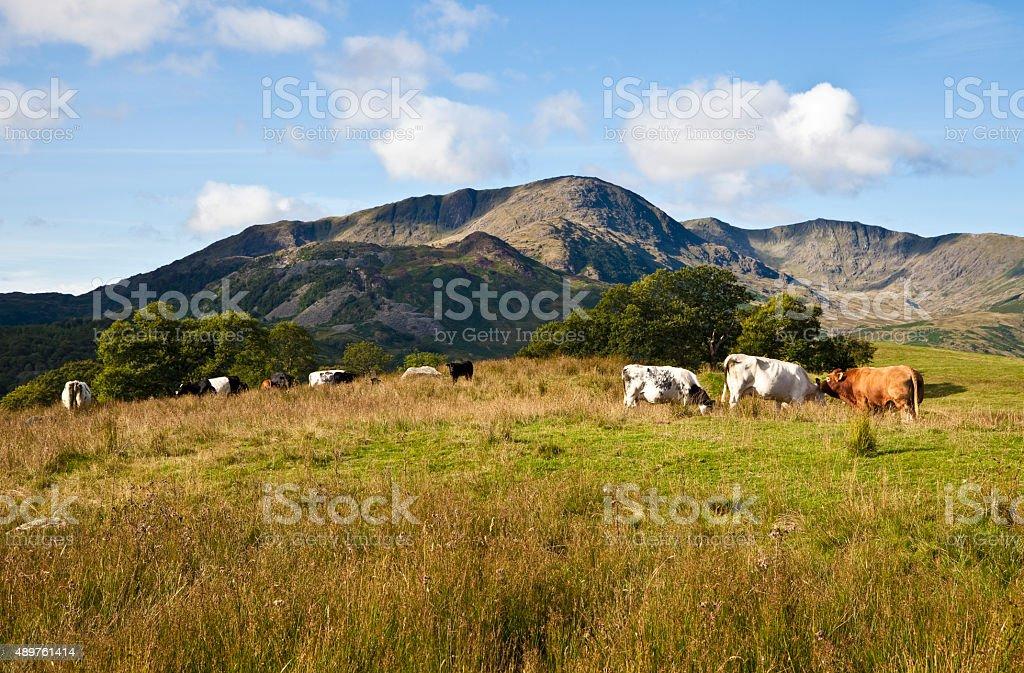Lake District Cows stock photo