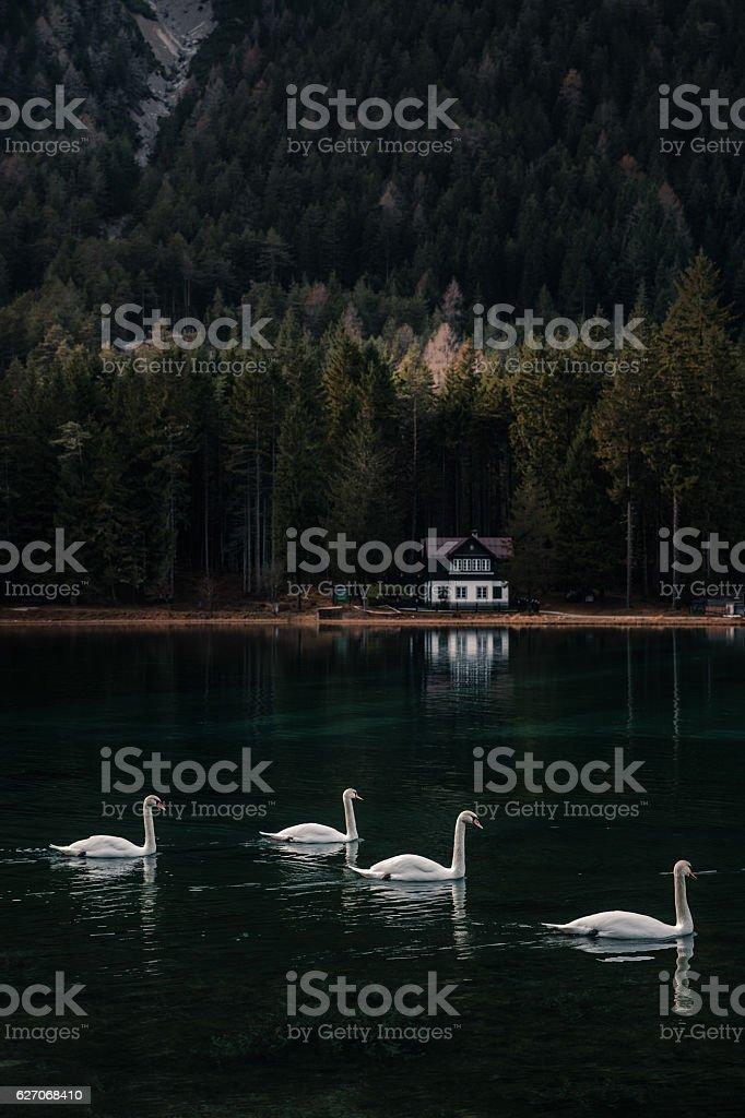 Lake Garda in Italy - Swan swimming into the lake stock photo