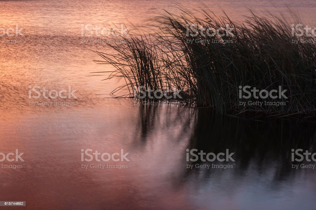 Lake grass blowing in the wind. stock photo