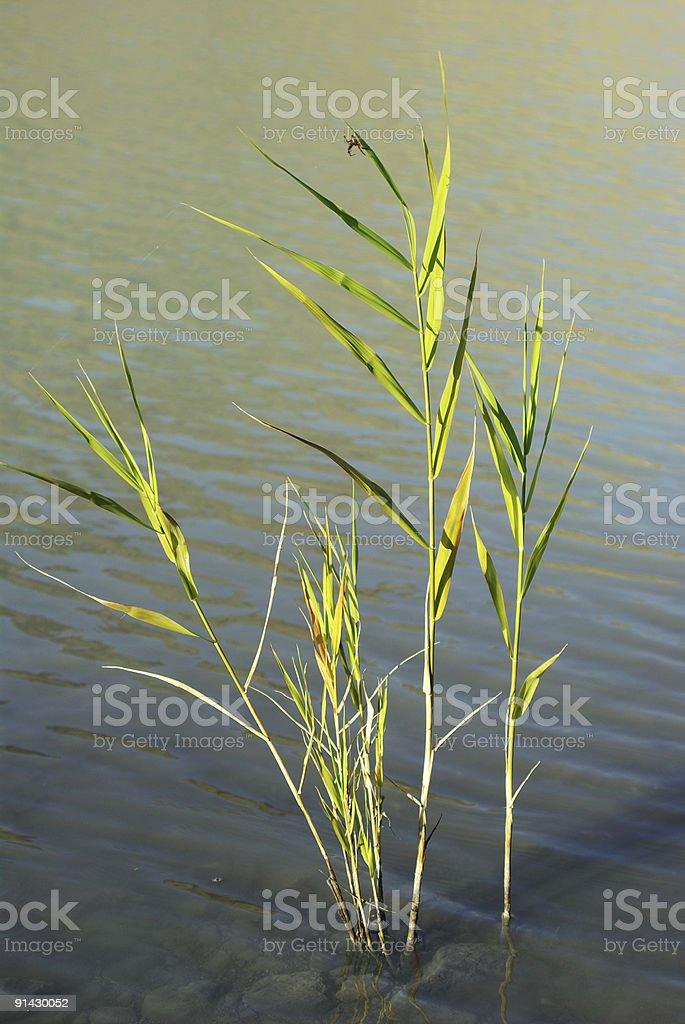 Lake grass royalty-free stock photo