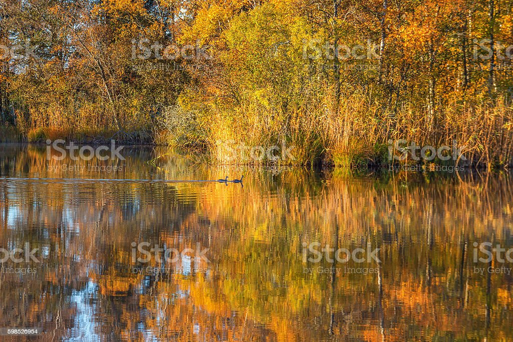 Lake in the fall with two crested grebes stock photo