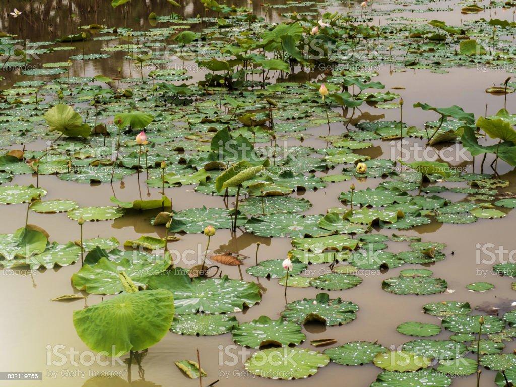 Lake lotus after rain stock photo